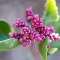 Sugar sumac growing along the trail.- Cottonwood Creek Falls