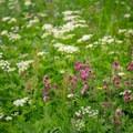 Wildflower field near the beginning of the hike.- Fronalpstock + Klingenstock via Stoos