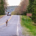 A deer proving moose aren't the only animals that hang out here.- Moose Alley
