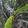 Banana flower.- Fern Grotto