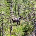 Moose in the bordering Umbagog Lake National Wildlife Refuge. - Umbagog Lake State Park