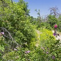 Wild rose bush.- Quail Hollow Mountain Biking
