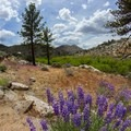 Lupine along the Pacific Crest Trail.- Domeland Wilderness via Pacific Crest Trail