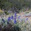 Lupine along the Blackrock Trail.- Jordan Hot Springs via Blackrock Trailhead