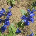 Blue penstemon.- Bowman Fork Trail