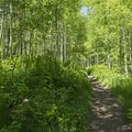 Most of the early part of the trail looks holds thick aspen groves. - Silver Lake Trail
