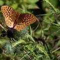 Unidentified species (help us identify it by providing feedback).- Peacham Bog Loop Trail