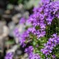 Fairy Foxglove flowers on the trail.- Oeschinensee + Heuberg Loop