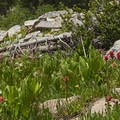 The wildflowers were out early this year.- Island Lake Hike
