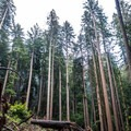 Looking up at the towering trees in Big Basin.- Berry Creek Falls Loop via Big Basin Headquarters