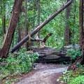 Fallen trees.- Berry Creek Falls Loop via Big Basin Headquarters