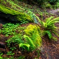 The forest is very lush and green.- Berry Creek Falls Loop via Big Basin Headquarters
