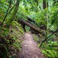 The trail tunnels through a fallen redwood tree.- Berry Creek Falls Loop via Big Basin Headquarters