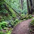 The forest dwarfs hikers.- Berry Creek Falls Loop via Big Basin Headquarters