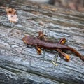 Many salamanders can be spotted along the trail near the creek.- Berry Creek Falls Loop via Big Basin Headquarters