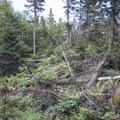 Navigate through some fallen conifers that have covered the path.- Pillsbury Mountain Fire Tower