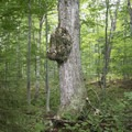 A large burl grows on an old tree.- Owl's Head Fire Tower