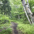 Ferns and birches along the trail.- Owl's Head Fire Tower
