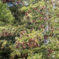 Evergreens filled with pine cones at the summit.- Owl's Head Fire Tower