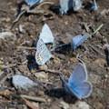 Fender's blue butterflies. - Horsepasture Mountain Trail