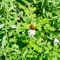 Wildflowers and butterflies are common in late June and early July along the trail. - Horsepasture Mountain Trail