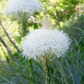 Bear grass (Xerophyllum tenax).- Horsepasture Mountain Trail