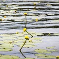 Some lily flowers emerging from the water.- Rollins Pond Loop