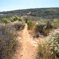 The trail ascends through dense chaparral. - Glider Port Trail to Black Mountain