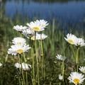 Common daisies along the shore.- Deer River Flow