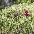 A red wildflower in the marsh.- Deer River Flow