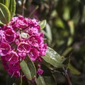 A pink rhododendron.- Deer River Flow