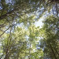 A glimpse upward through the tree cover.- Pharoah Mountain