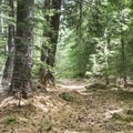 The trail is covered with a bed of pine needles.- Pharoah Mountain