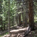 Enjoy the mountain forest early in the hike before leaving treeline.- South Arapaho Peak
