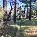 A pine forest takes over as the trail approaches Mount Laguna.- Pacific Crest Trail: California Section A