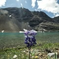 Arctic lupin.- Flower Springs Trail