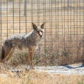 Coyotes at Safe Haven Wildlife Sanctuary.- Safe Haven Wildlife Sanctuary