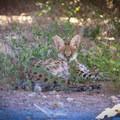 African servals housed at the sanctuary.- Safe Haven Wildlife Sanctuary