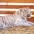 A white tiger housed by Safe Haven Wildlife Sanctuary.- Safe Haven Wildlife Sanctuary