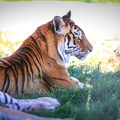 One of the tigers kept at Safe Haven Wildlife Sanctuary.- Safe Haven Wildlife Sanctuary