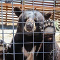 The sanctuary rescues animals that may have been abandoned or kept in dangerous or illegal conditions, such as this black bear that was kept as a domestic pet before being rescued by Safe Haven.- Safe Haven Wildlife Sanctuary