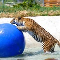 Animals are provided with shade structures, heated and cooled environments, enrichment toys, and sometimes pools.- Safe Haven Wildlife Sanctuary