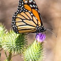 A monarch butterfly in Sycamore Canyon Open Space Preserve.- Martha's Grove Trail Loop