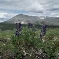 Arctic lupin.- Summit Ridge Trail