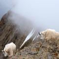 Mountain goats on Sacagawea Peak. - Fairy Lake to Sacagawea Peak
