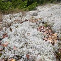 Carpet of lichen on Belknap Range Trail. - Belknap Range Trail
