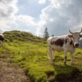 Expect to see cows on the trail!- Gross Aubrig + Nussen Loop