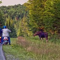 Moose by the road. Photo courtesy of Visit New Hampshire.- Moose Alley