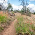 Wildflowers blooming along the Pacific Crest Trail.- Foster Point