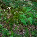 Lush understory.- Wilburn Ridge Loop via Pine Mountain + the Appalachian Trail